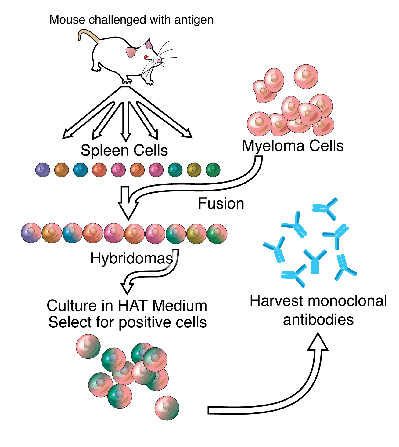 monoclonal antibody production flow