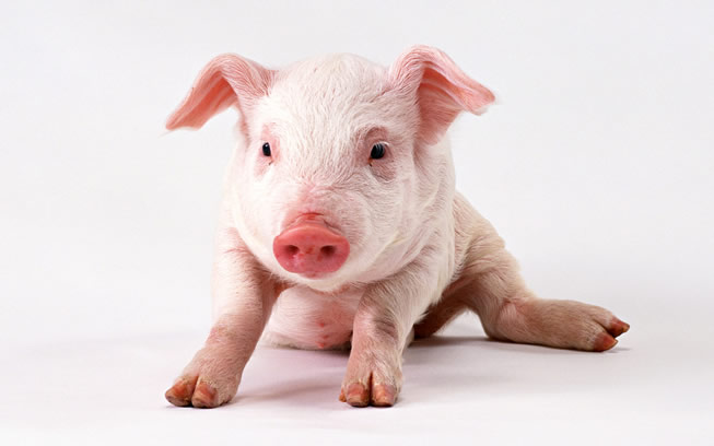 Swine Disease Test Kits