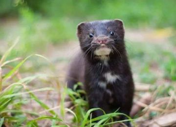 Mink Aleutian Disease Testing services and kits from Ringbio
